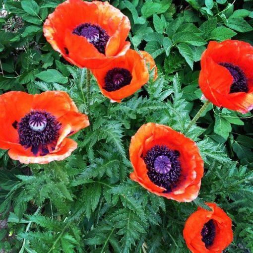 poppies 6.15.13