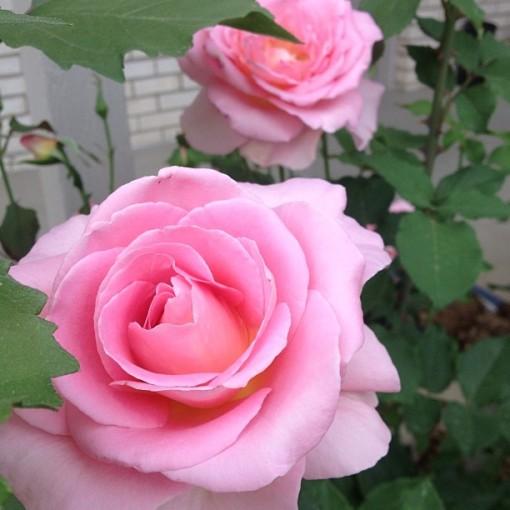 roses 6.15.13