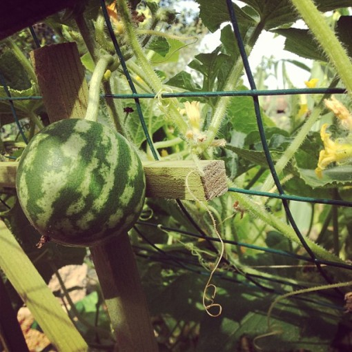 wee watermelon 8.6.13